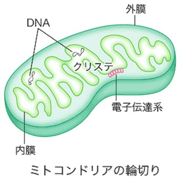 mitokondoria1